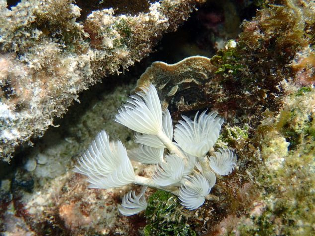 Feather Duster Worm Baby Mermaid on a Ra...