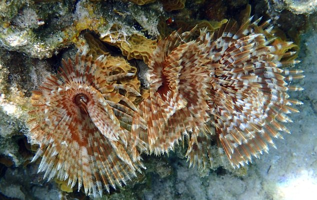 Feather Duster Worm Baby Daniel Johnson�...